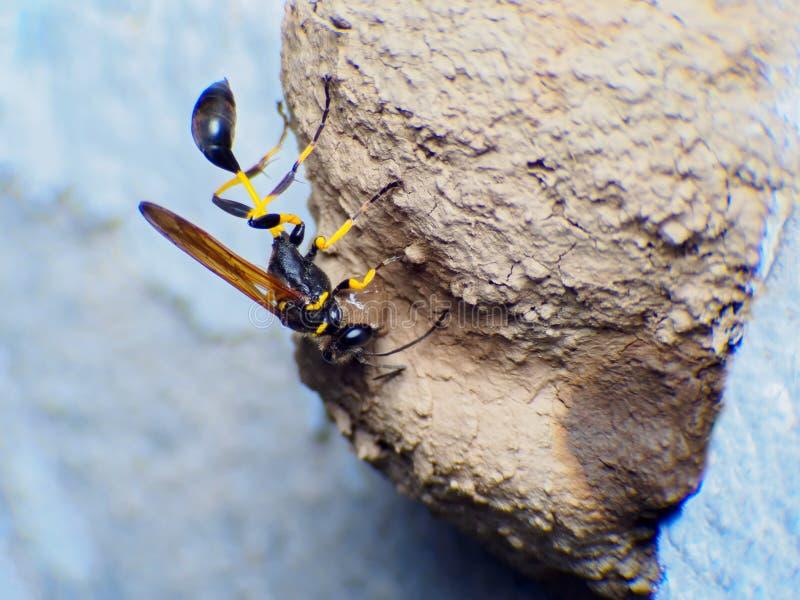 Arbete eller Wasp-imitatör Hoverfly för Ceriana getinghus på vit bakgrund royaltyfria bilder