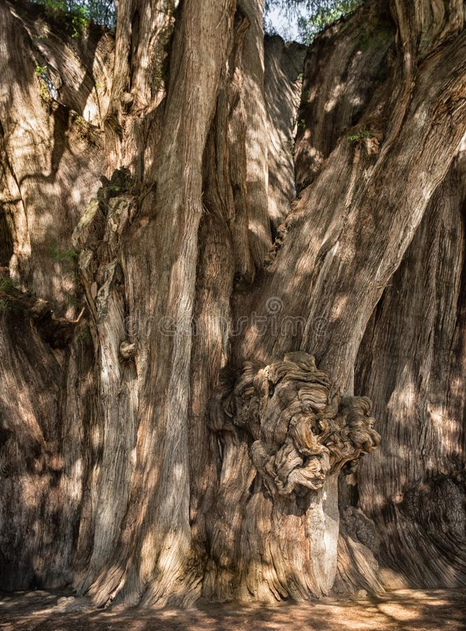 Arbol del Tule, árbol de ciprés de Montezuma en Tule Oaxaca, México imagen de archivo