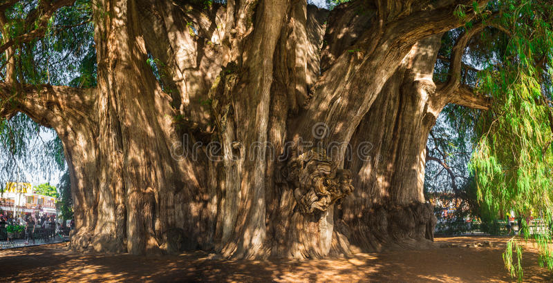 Arbol del Tule, arbre de cyprès de Montezuma dans Tule Oaxaca, Mexique photo stock