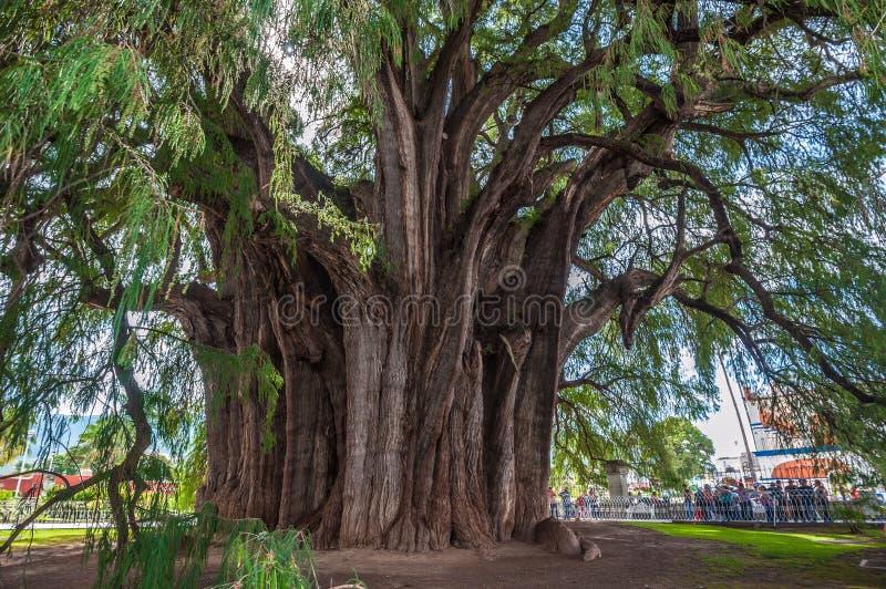 Arbol del Tule, ett jätte- sakralt träd i Tule, Oaxaca, Mexico royaltyfri bild