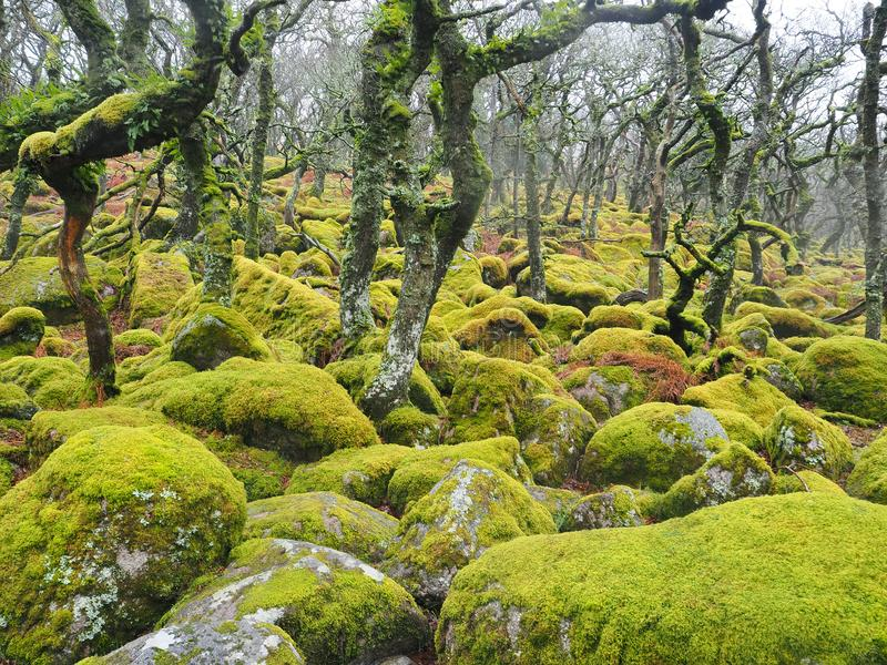 Arbolado del roble del soto del Negro-uno-Tor con los liquenes y los musgos verdes, parque nacional de Dartmoor, Devon, Reino Uni foto de archivo