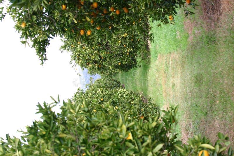 Arboleda anaranjada fotos de archivo