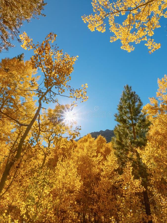 Arboleda de Aspen en colores máximos de la caída con resplandor solar a través de las ramas fotografía de archivo libre de regalías