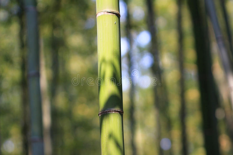 Arboleda de bambú famosa en Arashiyama, Kyoto - Japón fotografía de archivo