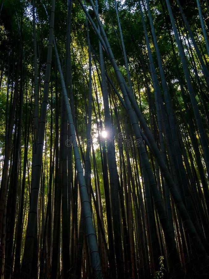 Arboleda de bambú, Japón imagen de archivo