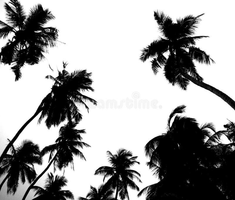 Arboleda de la palma en blanco y negro imagen de archivo