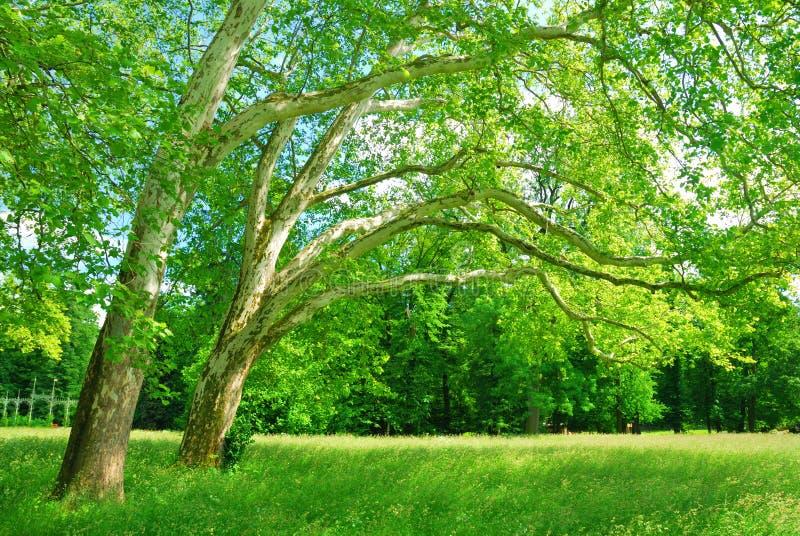 Arboleda de los árboles planos en primavera imagen de archivo libre de regalías