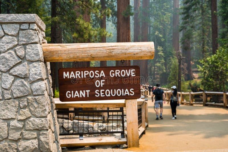 Arboleda de secoyas gigantes, parque nacional de Mariposa de Yosemite imagenes de archivo