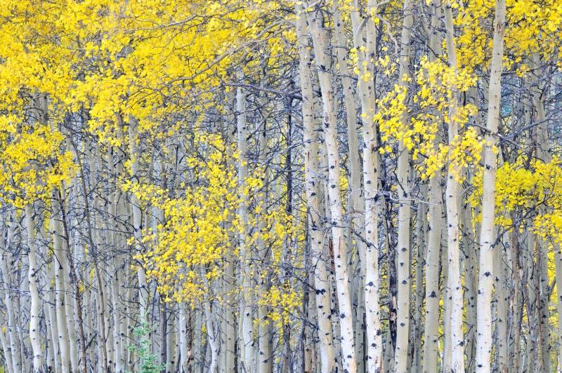 Arboleda del álamo temblón del otoño fotografía de archivo