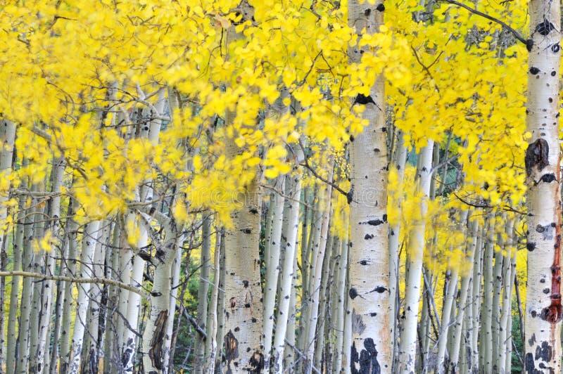 Arboleda del álamo temblón del otoño en el viento imagen de archivo libre de regalías