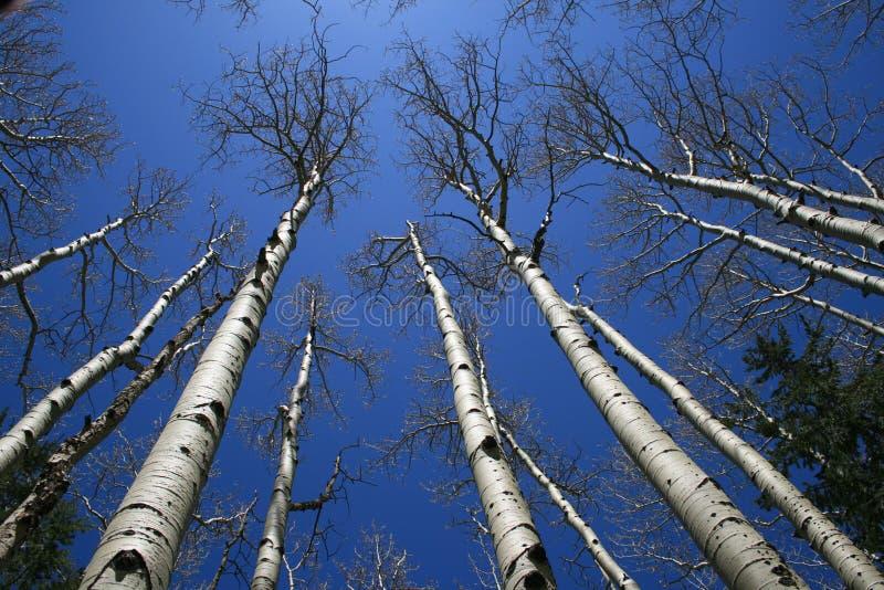 Arboleda del árbol de Aspen fotos de archivo