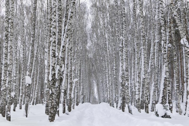 Arboleda del abedul cubierta con nieve fotografía de archivo