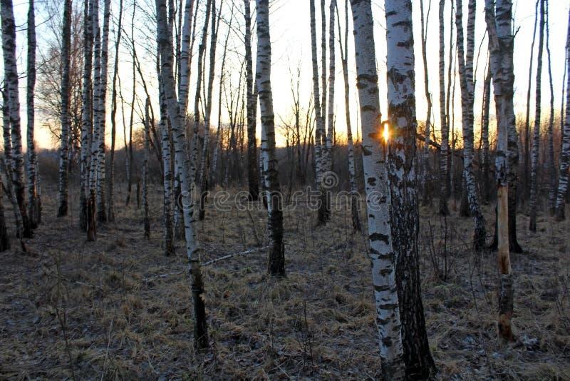 Arboleda del abedul durante una puesta del sol caliente en una tarde caliente y clara de la primavera imagen de archivo libre de regalías