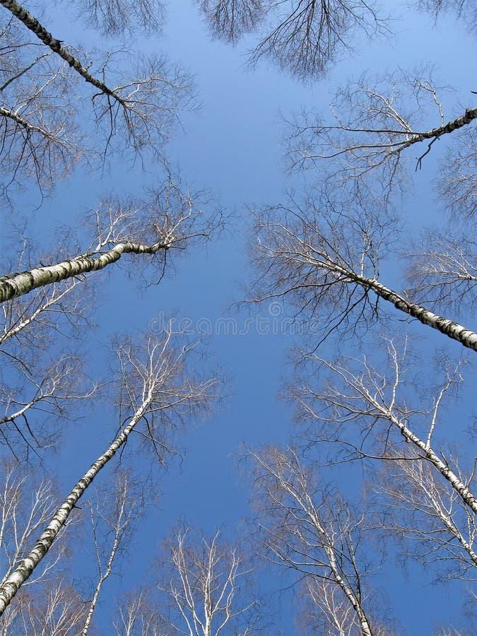 Arboleda del abedul en el cielo azul, concepto del arranque de cinta, foto de archivo libre de regalías