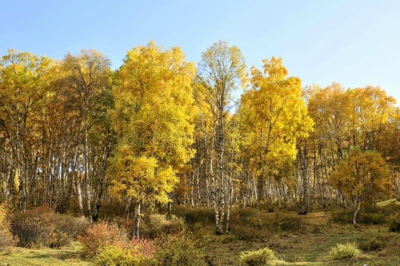 Arboleda del abedul del otoño fotos de archivo