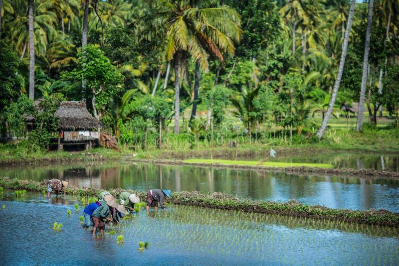 Granjeros que trabajan en un campo del arroz en Indonesia fotografía de archivo libre de regalías
