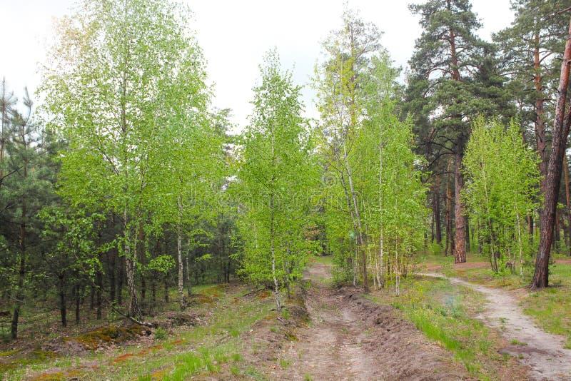 Arboleda fresca de la hierba verde y del abedul el verano Escena de la primavera en el bosque de abedul Bosque de la primavera co foto de archivo