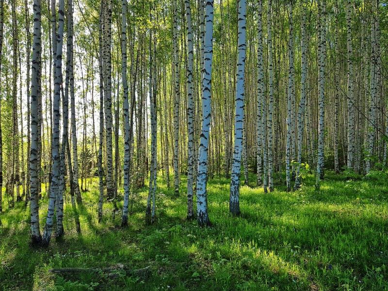 Arboleda fresca de la hierba verde y del abedul Primavera Forest Scene fotografía de archivo libre de regalías