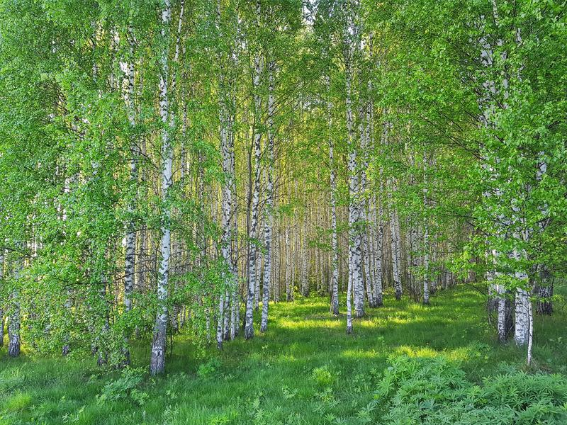 Arboleda fresca de la hierba verde y del abedul Primavera Forest Scene foto de archivo libre de regalías
