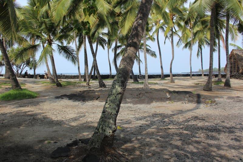 Arboleda sombría del coco en Hawaii imagen de archivo