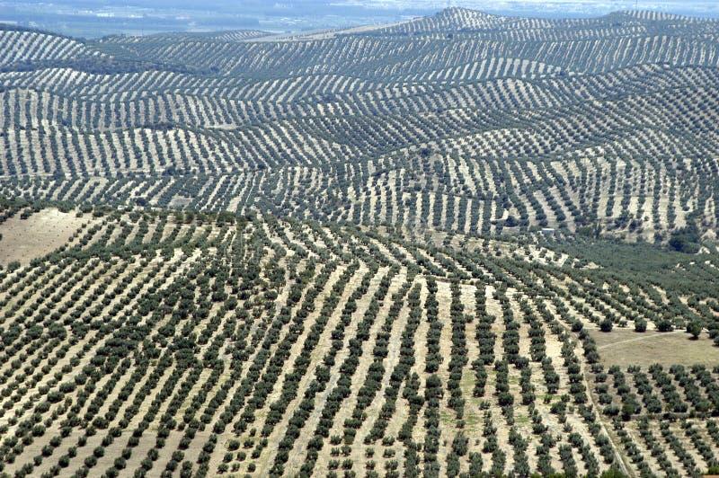 Arboleda verde oliva imagenes de archivo