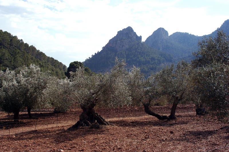 Arboleda verde oliva foto de archivo libre de regalías