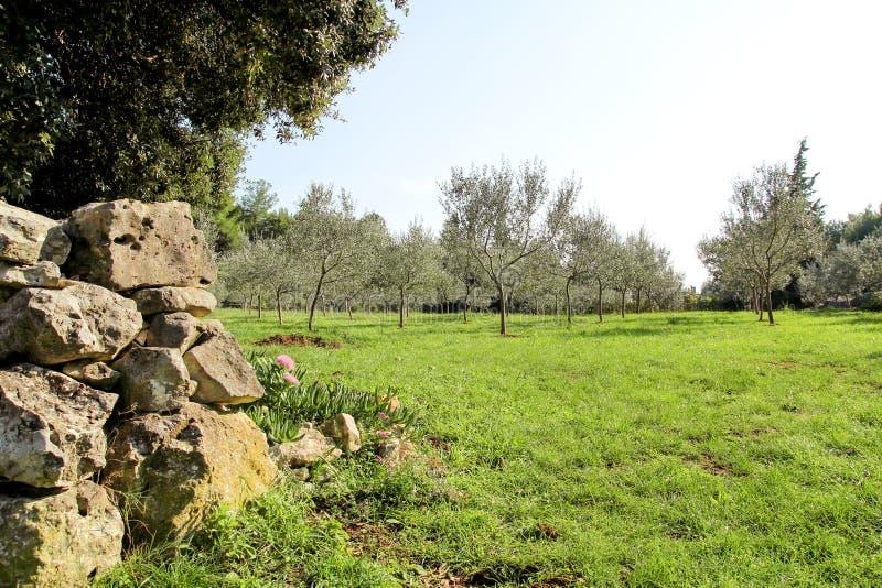 Arboleda verde oliva con la cerca de piedra Concepto de aceitunas Crecimiento verde oliva Vista de una arboleda verde oliva antes fotos de archivo libres de regalías