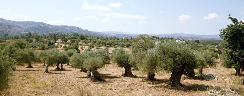 Arboleda verde oliva del Cretan foto de archivo