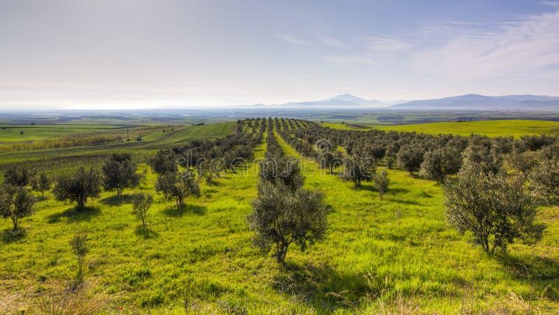 Arboleda verde oliva en Grecia fotos de archivo