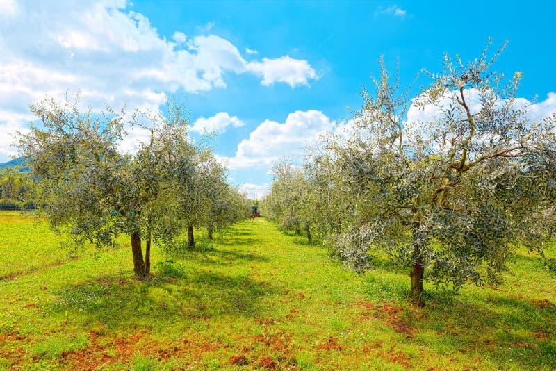 Arboleda verde oliva en Nozzano Castello, pueblo medieval en la provincia de Lucca, Toscana imagen de archivo libre de regalías