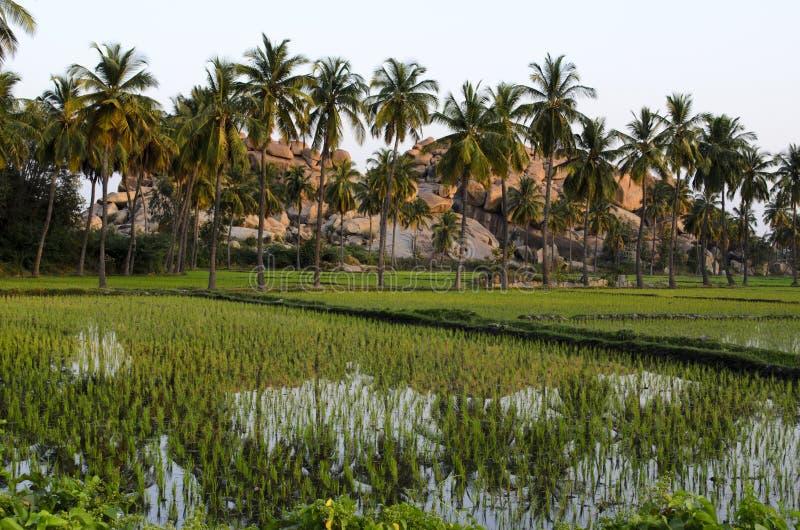 Arboledas del coco y campos de arroz fotos de archivo