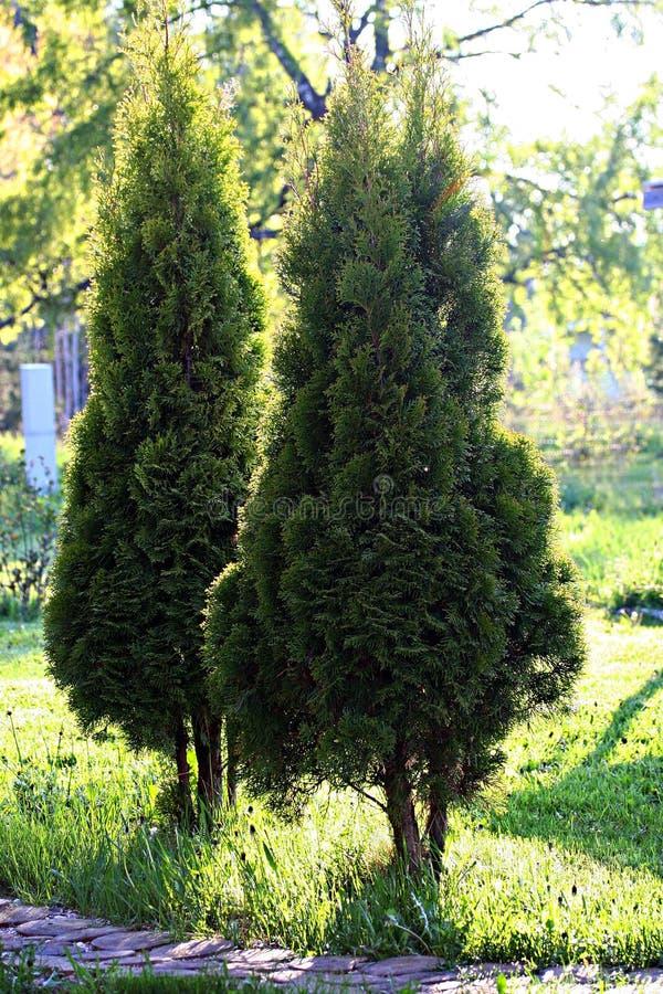 Arbor vitae in garden. Retro photo filter effect stock image