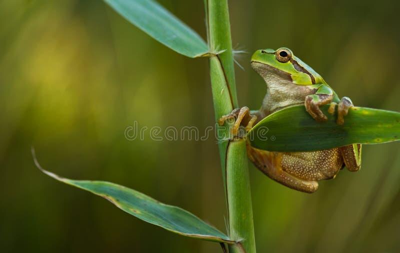 arborea青蛙绿色雨蛙叶子芦苇结构树 免版税库存图片