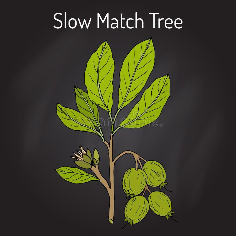 Arborea de Careya d'arbre de match lent, plante médicinale illustration de vecteur