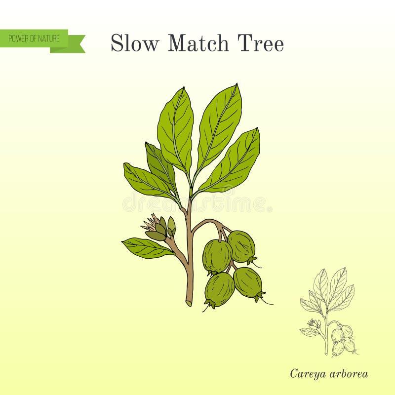 Arborea de Careya d'arbre de match lent, plante médicinale illustration libre de droits