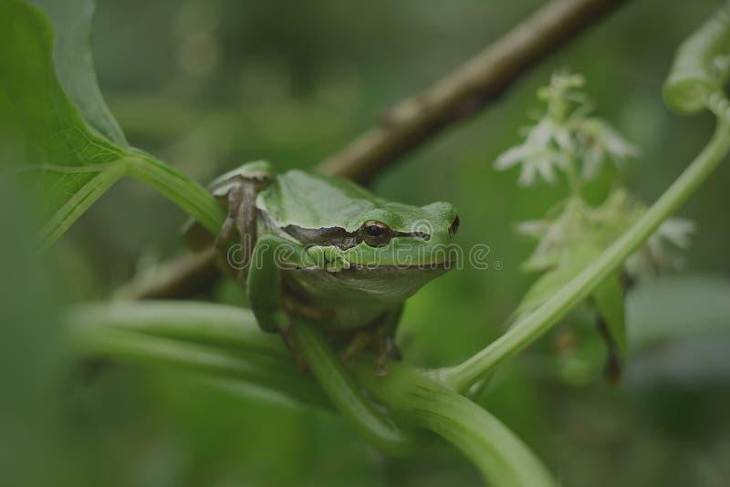 Arborea selvaggio della hyla della rana fotografie stock