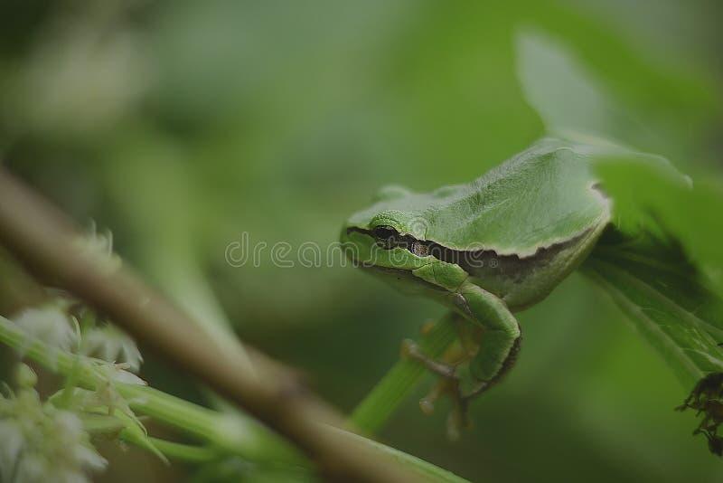 Arborea selvaggio della hyla della rana fotografia stock