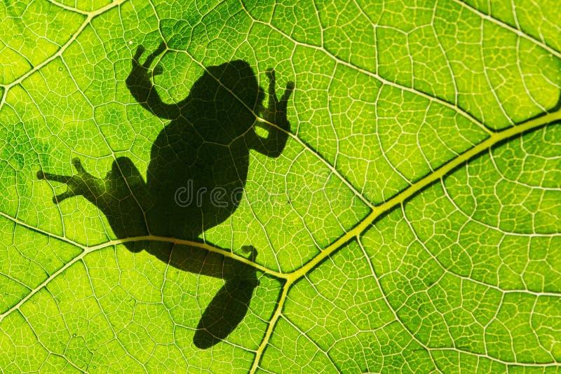 Arborea verde europeo del Hyla de la rana arbórea en la hoja en luz de la silueta fotos de archivo