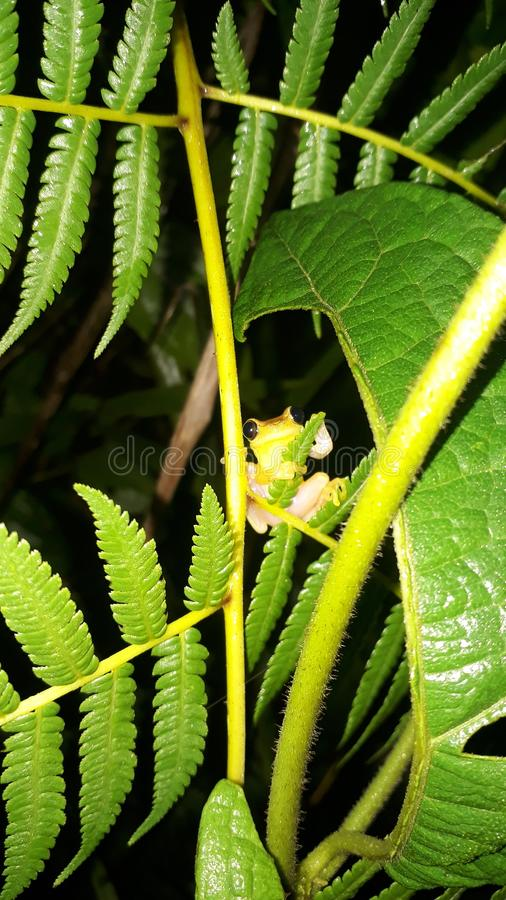 Arboreal frog Ecuador royalty free stock images