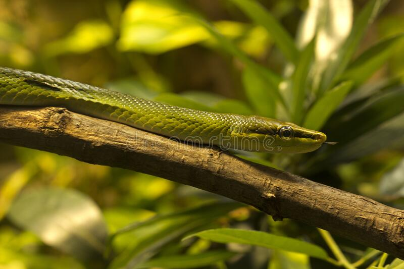 Arboreal ratsnake, the red-tailed green ratsnake, red-tailed racerGonyosoma oxycephalum. Arboreal ratsnake, the red-tailed green ratsnake, red-tailed stock image