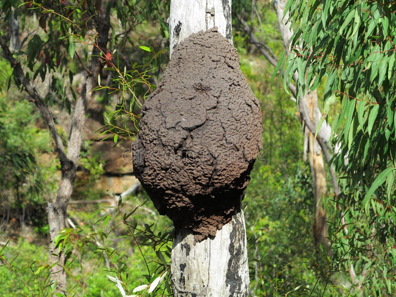 Arboreal Termite nest on tree trunk stock photo