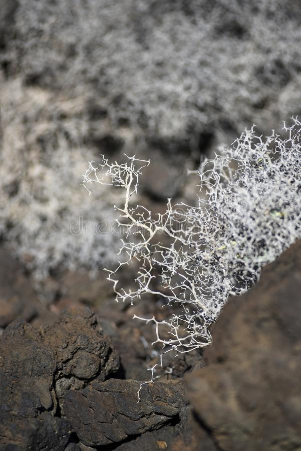 Arborescens de Launaea secados em Lanzarote Território árido de Lanzar imagem de stock