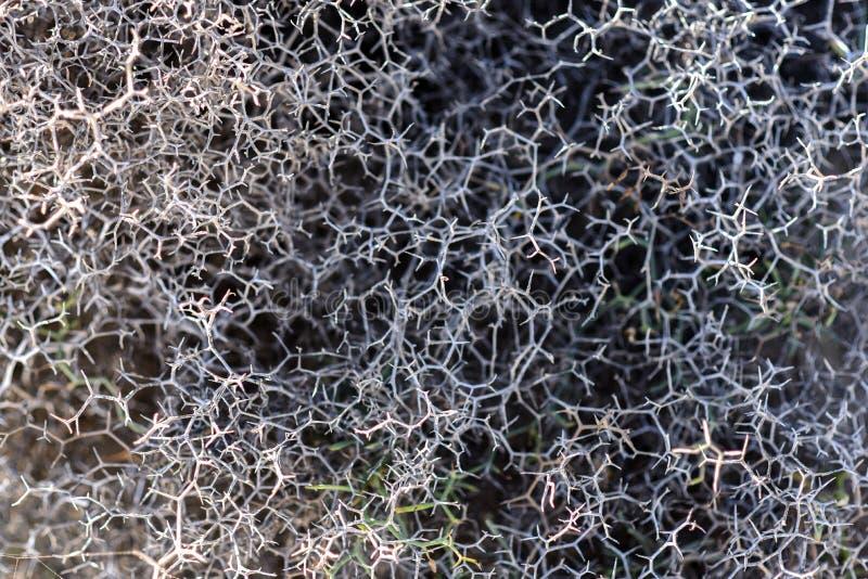 Arborescens de Launaea secados em Lanzarote Território árido de Lanzar imagens de stock royalty free