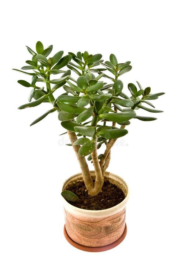 Arborescens do Crassula fotografia de stock royalty free