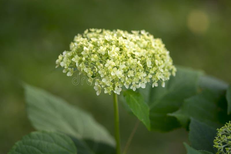 Arborescens pianta di fioritura bianca, gruppo dell'ortensia di piccoli fiori su un gambo in fioritura fotografia stock