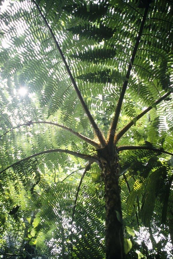 Arborescent primitivt träd för trädormbunke från det Jurassic i den tropiska skogen Venezuela royaltyfria bilder