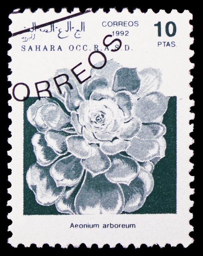 Arboreum Aeonium ветреницы дерева, Сахара Occ serie, около 1992 стоковые изображения