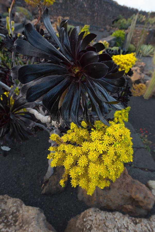 Arboreum succulent Atropurpureum d'Aeonium photo libre de droits