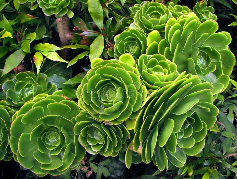 Arboreum succulent vert d'aeonium d'usine photo libre de droits