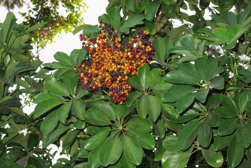 Arboricola de Schefflera avec des fruits photos stock